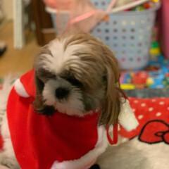 サンタ/シーズー/犬/クリスマス/クリスマス2019 我が家の1歳の仲間がサンタデビュー 正直…