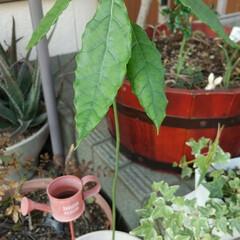 アボカド 水耕栽培のアボカドが伸びすぎたので、鉢に…