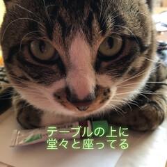 ペットのいる暮らし/猫 なな🐱 朝起きたらテーブルの上に座ってま…(1枚目)