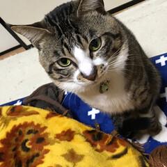 ペットのある暮らし/猫 我が家のイケメン🐱 なな 全部が大きい顔…(1枚目)