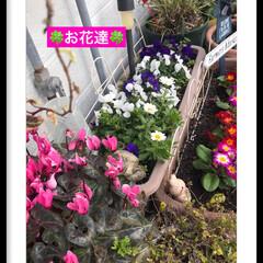花のある暮らし/大切な花 綺麗に咲き誇っています🍀 癒し 元気もら…(1枚目)