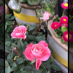 花のある暮らし/大切な花 綺麗に咲き誇っています🍀 癒し 元気もら…(2枚目)