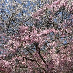 春/お花見/桜🌸 職場の桜🌸 この時期は1番良いはずなのに…