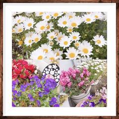 大切なもの/癒し/花 我が家のお花達🌼🍀 綺麗に咲き誇ってます…