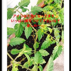 トマト/家庭菜園 家庭菜園🍅 アイコ🍅プランターにて 大き…