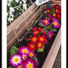 花のある暮らし/大切な花 綺麗に咲き誇っています🍀 癒し 元気もら…(3枚目)