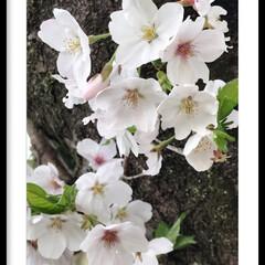 癒し/桜 🌸職場の桜🌸 今はもうだいぶ散ってしまい…
