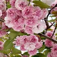 「いつの間にか満開になってた 八重桜🌸 グ…」(1枚目)