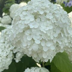 紫陽花/花 白紫陽花、綺麗で癒されます✨✨(1枚目)