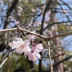 「枝垂れ桜が咲きはじめてました🌸 次々と花…」(1枚目)
