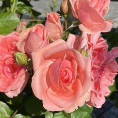 薔薇/散歩/花 バラが咲く季節となりました🌹 散歩で見つ…(1枚目)