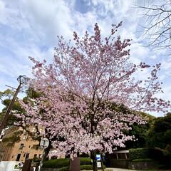 「神代曙桜が満開になってました🌸 ソメイヨ…」(1枚目)