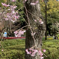 「枝垂れ桜が咲きはじめてました🌸 次々と花…」(2枚目)