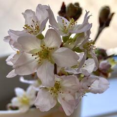 花/桜 昨日買ってきた、桜🌸 切り分けして小さい…(1枚目)