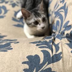 猫のいる暮らし/猫とインテリア/にゃんこ同好会/LIMIAペット同好会/ねこと暮らすお部屋 お久しぶりです。 チビ達がこんなに大きく…(4枚目)
