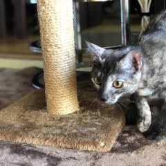 猫のいる暮らし/猫とインテリア/にゃんこ同好会/LIMIAペット同好会/ねこと暮らすお部屋 お久しぶりです。 チビ達がこんなに大きく…(1枚目)