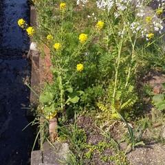 さんぽ/黄色/暮らし 菜の花と何だろう?