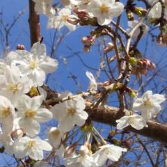 散歩/サクラ/暮らし 違う所の桜