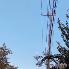 花と月/白の/連弾🤍🤍 白いサルスベリの花を見上げたら 白い月が…
