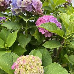 アジサイ/6月下旬/梅雨明けは/いつ?/暮らし いつも通る道路脇の紫陽花たちも6月も終わ…(1枚目)