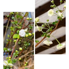 春の花/🤍白/八重/ユキヤナギ 気温上昇↗︎☀️ 玄関先の八重のユキヤナ…(1枚目)