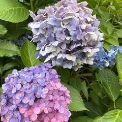 アジサイ/6月下旬/梅雨明けは/いつ?/暮らし いつも通る道路脇の紫陽花たちも6月も終わ…(2枚目)