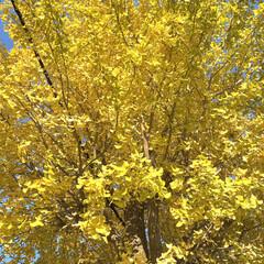 青空に/金色の/イチョウの木/一本 きれいなイチョウの木 見ーつけた♪ 待ち…