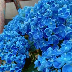 夕暮れ/涼=水やり/青⇒藍色/暮らし 今日の暑さも 夕暮れ時の紫陽花の より青…