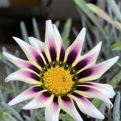 はな花/気温上昇↗︎/明日は/晴れるよ‼︎/暮らし ツボミだった玄関先のお花 仕事から帰ると…