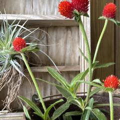 あか赤/千日草/aroma/😪💤💤 ずっとほしかった〝赤色〟千日草。 玄関を…