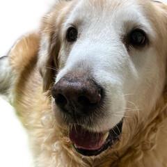 いぬのいる暮らし/犬のいる生活/大型犬/大型犬のいる生活/ゴールデンレトリーバー/ペット/... restartしまーす!! 名前 ルーキ…