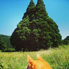 トトロの木/小杉の大杉/樹齢1000年/パワースポット ご無沙汰の投稿です(  ;∀;) 先月の…