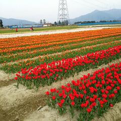チューリップ畑/癒し/頑張ろう 数年前のチューリップ畑🌷ですがf(^_^…