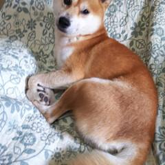 柴犬/今日もお疲れ様でした/頑張ってる/カイカイは辛い こんばんわ😃🌃 僕ちゃんは💕元気に過ごし…