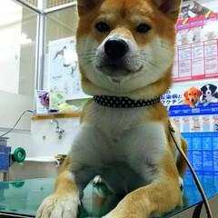 フィラリア予防/柴犬/どや顔 そろそろ😊フィラリア予防の季節がやってき…