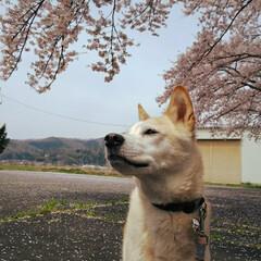 空を見上げて/桜 今年も✨待ってるよ💕タロウ兄ちゃん🤗 も…