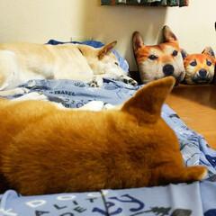 疲れた/雑種犬/柴犬/お疲れ様/愛犬達シャンプー シャンプー🧴お疲れちゃん💕😊母ちゃんも汗…