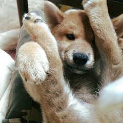 おやすみなさい/今日もお疲れ様でした/柴犬/パピー犬 パピー犬🐶僕ちゃん⑥ あんよ🐾でばんざー…