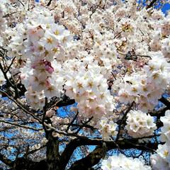 頑張るべ💪/ありがとう/東北の桜/春 今年も✨綺麗な桜🌸をありがとう💕💕💕