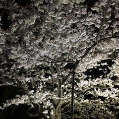 「夜桜見物に行ってきました🌸今年は本当散る…」(3枚目)
