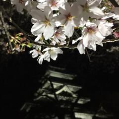 「夜桜見物に行ってきました🌸今年は本当散る…」(2枚目)