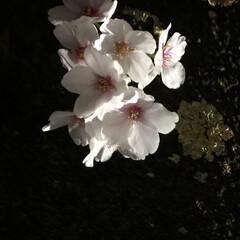 「夜桜見物に行ってきました🌸今年は本当散る…」(1枚目)