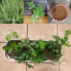 ダッチオーブン料理/ハーブ/夏対策/夏インテリア/お庭あそび/季節インテリア お家のローズマリーに、只今根付け中のラベ…
