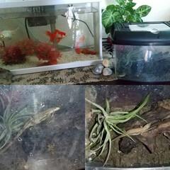 水槽/生き物/玄関開けたら/癒しの空間/カナヘビ/暮らし 私の癒しの空間に、カナヘビちゃんが仲間入…
