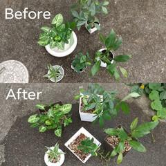 植え替え/観葉植物 左上から、シンゴニウム、パキラ、サンデリ…