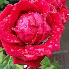 雨に濡れた赤い薔薇/昨日/歯医者さんの帰り/咲いていました おっはよう ございま~す☺  6月19日…(1枚目)