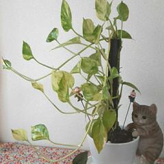 今朝👀📷✨/うちのポトス/子猫のマイケル ポトスが成長しています💚  3枚目が7月…