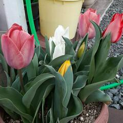 🎶咲いた、咲いた🌷の花が~🎶/先日/買い物に行く途中/👀📷✨ 1.300投稿目になりました。 いつも見…(3枚目)