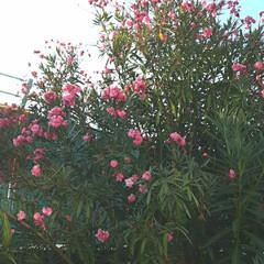 広島市花/👀📷✨/買い物に行く途中/キョウチクトウ/花/空 広島県の木と花は紅葉ですが、  広島市の…