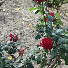 エース・オブ・ハーツ🌹/薔薇公園/👀📷✨/薔薇 おはようございます☺  11月19日(木…(2枚目)
